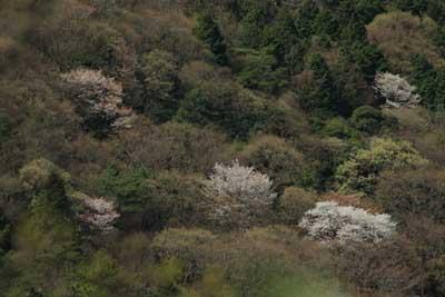 Yamazakura1_2