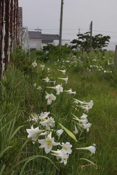 Takasagoyuri1