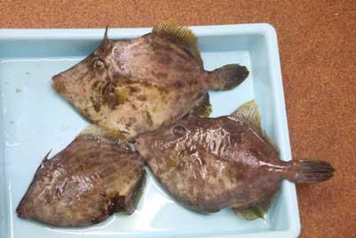 Kawahagi1