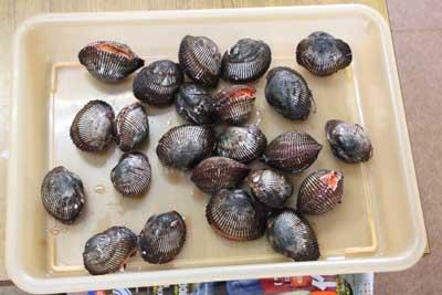 Akagai1