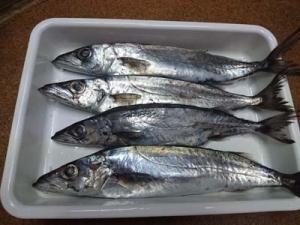 Kamasu1